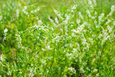 Medicinal plant: White sweet clover — Stock Photo