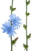 Medicinal plant: Chicory — Stock Photo