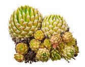 Medicinal plant: Orostachys spinosa — Stock Photo