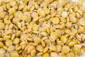 Sprouted lentils — Stock Photo