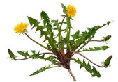 Medicinal plant: Dandelion (Taraxacum officinale) — Stock Photo