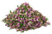 Big pile of clover flower bud — Stock Photo