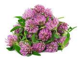 Heap pile of clover flower bud — Stock Photo