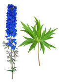 Medicinal plant: Delphinium — Stock Photo