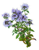 Medicinal plant: Thyme — Stock Photo