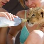 Feeding little lion cub with milk — Stock Photo #29056537