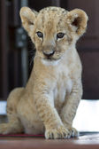 Portrait of cute lion cub sitting — Stock Photo