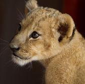 Retrato de um filhote de leão — Fotografia Stock