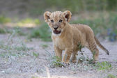Little lion cub shows his teeth with a roar — Stock Photo