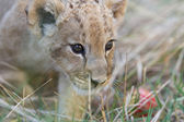 Little lion cub in grass — Stock Photo