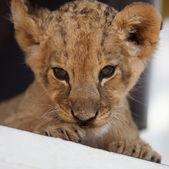 小可爱小狮子的肖像 — 图库照片