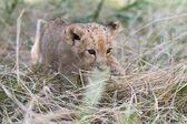 在草丛中的小狮子 cub 狩猎 — 图库照片