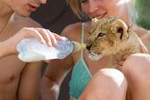 Feeding little lion cub with milk — Stock Photo