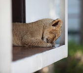 Cute little lion cub sleeping outdoors — Stock Photo