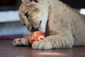 Little lion cub plaiying with a ball — Stock Photo