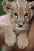 Porträtt av söt lejon unge — Stockfoto