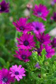 Sommerblumen im freien — Stockfoto
