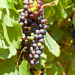 Purple red grapes with green leaves on the vine — Stock Photo #38204285