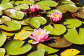 Pink waterlilly flowers in bloom — Stock Photo