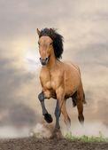 Wild stallion running in sunset — Stock Photo