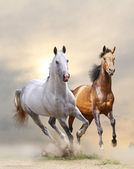 Horses in dust — Stock Photo