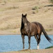 Stock Photo: Black stallion