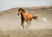 Wild horse in dust — Stock Photo