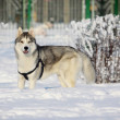Husky in winter - Stock Photo
