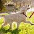 Stock Photo: Golden retriever puppy runs