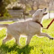 Golden retriever puppy runs — Stock Photo #16970365
