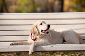 Golden retriever puppy — Stock Photo