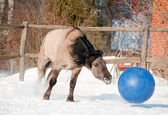 Horse playing football — Stock Photo