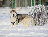 Husky im winter — Stockfoto