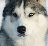 Husky portre — Stok fotoğraf