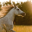 Arab horse in sunset — Stock Photo