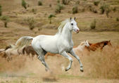 White stallion in dust — Stock Photo