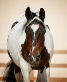 Pinto horse — Stock Photo