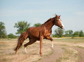Stallion runs — Stock Photo