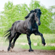 Friesian stallion running — Stock Photo