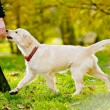 Retriever puppy — Stock Photo