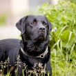 Stock Photo: Black labrador retriever