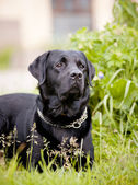 Black labrador retriever — Stock Photo