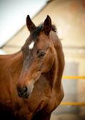 Bay horse — Stock Photo