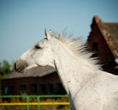 Gray horse — Stock Photo