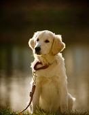 Retriever puppy (small Dof) — Stockfoto