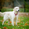 Golden retriever — Stock Photo #37396409