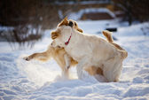 Golden retriever dogs play — Stock Photo