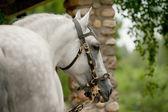 Andalsian stallion — Stock Photo