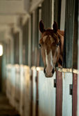 Arabian foal in stable — Foto Stock