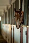 Arabian foal in stable — Stock Photo